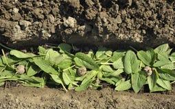 Het planten van pootaardappelen Royalty-vrije Stock Afbeeldingen