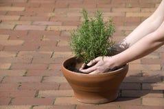 Het planten van rozemarijn Royalty-vrije Stock Afbeelding