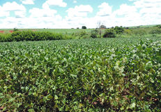 Het planten van sojabonen Royalty-vrije Stock Afbeeldingen