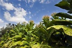 Het planten van tabak Stock Foto
