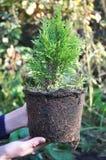 Het planten van Thuja De boom van tuinmanhands planting cypress stock fotografie