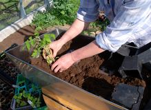 Het planten van tomaat Stock Fotografie