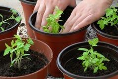 Het planten van tomaat Stock Foto