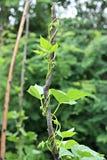 Het planten van tomaten Royalty-vrije Stock Afbeelding