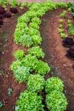 Het planten van tomaten Stock Afbeelding