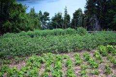 Het planten van tomaten Royalty-vrije Stock Foto