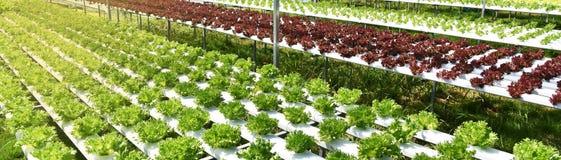 Het planten van tomaten stock foto