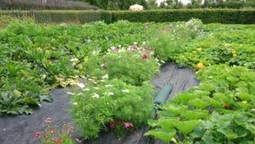 Het planten van tomaten stock footage