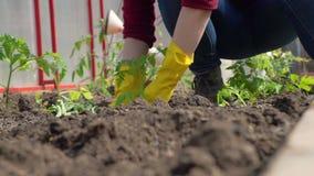 Het planten van Tomaten in de Grond stock video