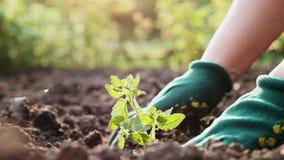 Het planten van tomatenzaailingen in de tuin stock footage