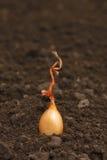Het planten van uien stock foto's
