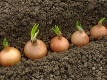 Het planten van uien stock foto