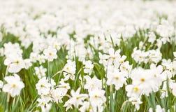 Het planten van witte gele narcissen, de lentetijd Stock Foto