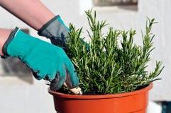 Het planten van zaailing Stock Afbeelding
