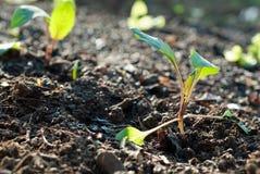 Het planten van zaailingen Stock Foto's