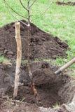 Het planten van zaailingen in landende kuil stock afbeeldingen