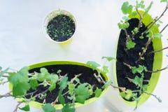 Het planten van zaailingen in potten op wit Stock Foto's
