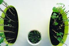 Het planten van zaailingen in potten op wit Royalty-vrije Stock Foto