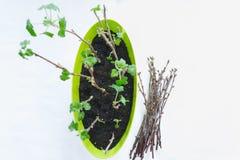 Het planten van zaailingen in potten op wit Stock Afbeeldingen