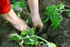 Het planten van zaailingen van tomaten stock fotografie