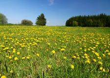 Het platteland van de lente met gele paardebloemen stock foto