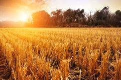 Padievelden na oogst stock afbeelding