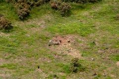 Het Platteland van Feral Rabbits Warrens Destroying New Zeeland stock afbeeldingen