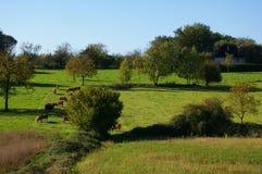 Het platteland van Limousin met koeien. Stock Foto
