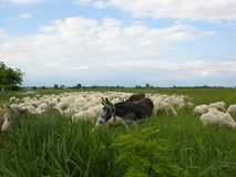 Het platteland van Toscanië animalfarm Royalty-vrije Stock Afbeelding