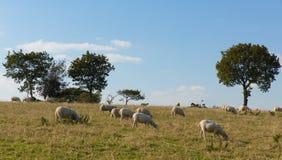 Het plattelandsmening van Devon England het UK van het oosten van Blackdownheuvels met schapen Royalty-vrije Stock Afbeelding