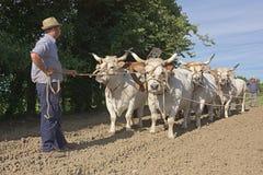 Het ploegen met ossen Stock Foto