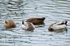 Het ploeteren van Wilde eend Duck Hen Royalty-vrije Stock Foto's