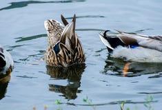 Het ploeteren van Wilde eend Duck Hen Royalty-vrije Stock Afbeelding