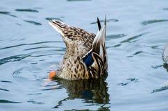 Het ploeteren van Wilde eend Duck Hen Royalty-vrije Stock Afbeeldingen