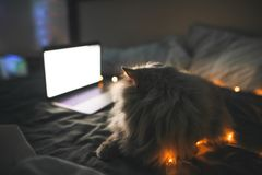 Het pluizige grijze huisdier legt bij nacht in het bed in een comfortabele slaapkamer en bekijkt het laptop scherm stock afbeeldingen