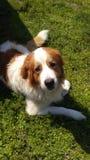Het pluizige hond staren royalty-vrije stock foto's