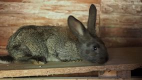 Het pluizige konijn bekijkt u en kronkelt zich zijn neus stock videobeelden