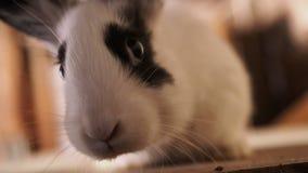 Het pluizige konijn bekijkt u en kronkelt zich zijn neus stock video
