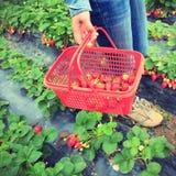 Het plukken aardbei in tuin Stock Afbeeldingen