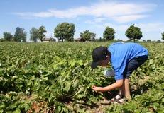 Het plukken aardbeien Stock Fotografie