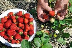 Het plukken aardbeien Stock Foto's