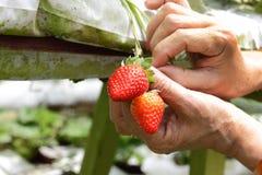 Het plukken Aardbeien Royalty-vrije Stock Afbeeldingen