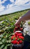 Het plukken aardbeien Stock Afbeelding