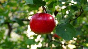 Het plukken appel van een boom stock footage