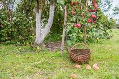 Het plukken appelen royalty-vrije stock foto's