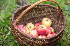 Het plukken appelen stock foto