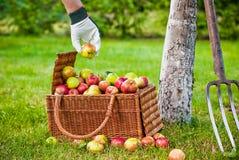 Het plukken appelen aan de mand Stock Afbeeldingen