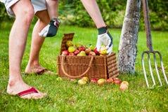 Het plukken appelen in boomgaard Royalty-vrije Stock Afbeelding