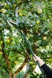 Het plukken appelen in boomgaard door Lopper Te snoeien Stock Afbeelding
