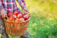 Het plukken appelen Een mens met een volledige mand van rode appelen in de tuin royalty-vrije stock foto